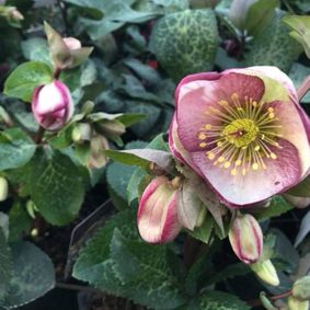 An example of the Helleborus Rodney Davey flowers that we sell.
